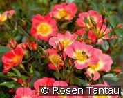 Bienenweide Bicolor (Ground Cover Rose)