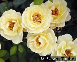 Bienenweide Gelb (Ground Cover Rose)