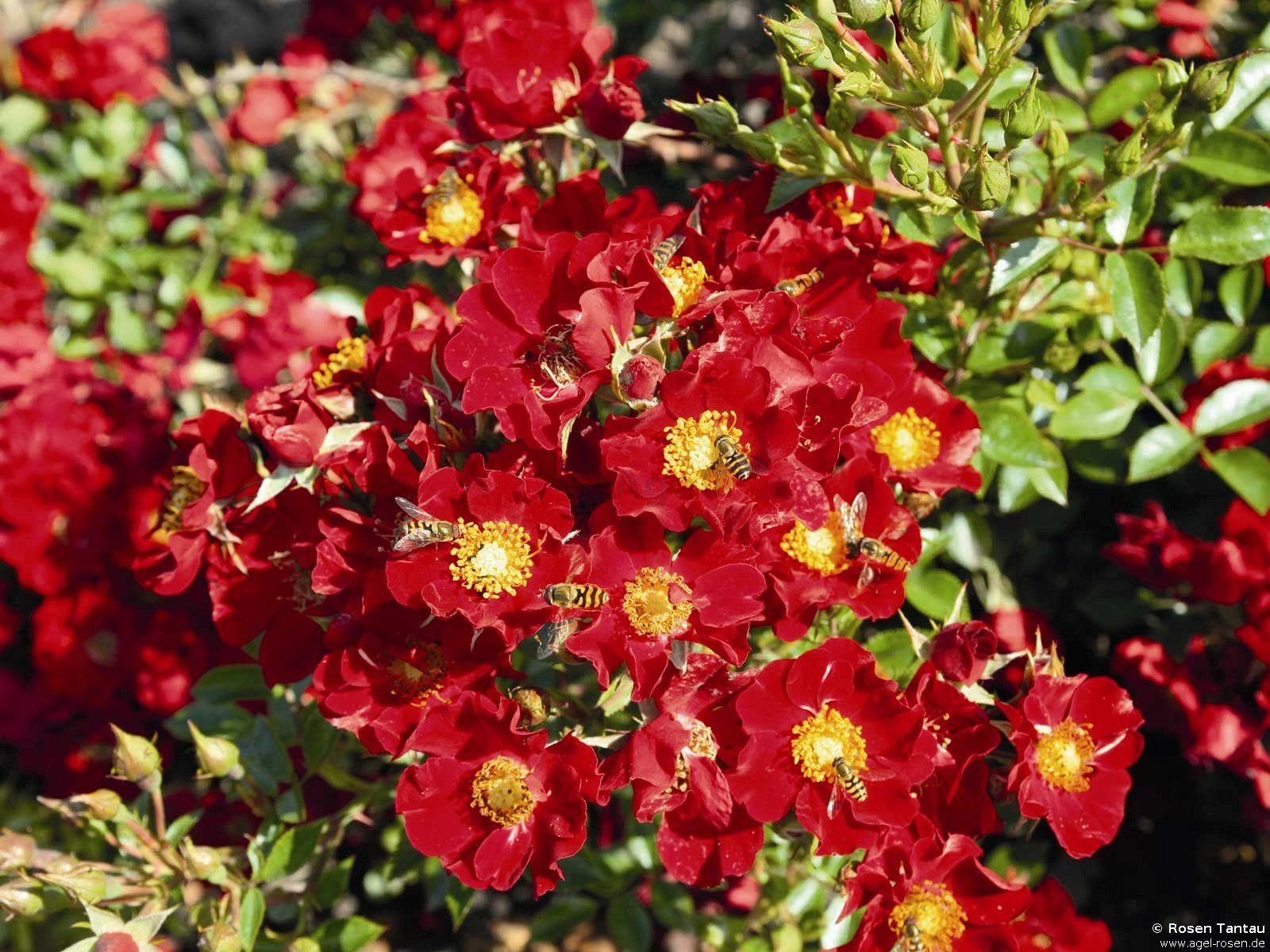 Bienenweide apricot роза