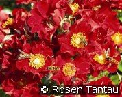 Bienenweide Rot (Ground Cover Rose)
