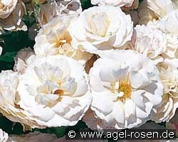 Blanche Cascade (Ground Cover Rose)