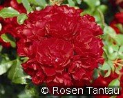 Centro-Rose (Ground Cover Rose)