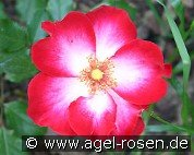 Cherry Meidiland (Ground Cover Rose)