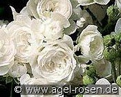 Crystal Fairy (Ground Cover Rose)