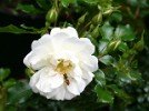 Diamant (Ground Cover Rose)
