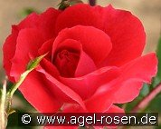 Heidefeuer (Ground Cover Rose)