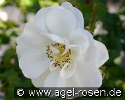 Heidesommer (Ground Cover Rose)