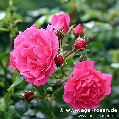 buy rose heidetraum online at agel rosen weeping tree roses 125 140cm tree roses. Black Bedroom Furniture Sets. Home Design Ideas