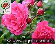 Heidetraum (Ground Cover Rose)