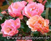 Jazz (Ground Cover Rose)