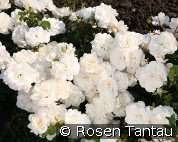 Kastelruther Spatzen (Ground Cover Rose)