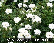 Kent syn. White Cover (Ground Cover Rose)