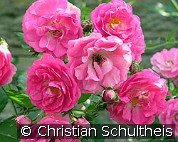 Kessi (Ground Cover Rose)