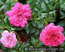 Knirps (Ground Cover Rose)