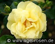 Loredo (Ground Cover Rose)
