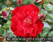 Mainaufeuer (Ground Cover Rose)