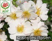 Medeo (Ground Cover Rose)