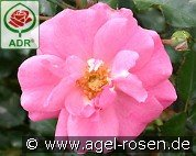 Mirato (Ground Cover Rose)