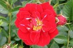 Nipper (Ground Cover Rose)