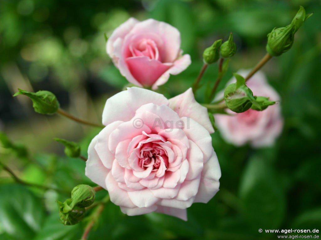 petit bonheur ground cover rose buy at agel rosen. Black Bedroom Furniture Sets. Home Design Ideas