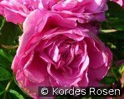 Romantic Roadrunner (Ground Cover Rose)