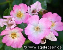 Rosa Sternenflor (Ground Cover Rose)