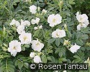 Rosa rugosa Schnee-Eule (Ground Cover Rose)
