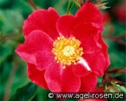 Rose Cascade (Ground Cover Rose)