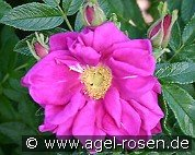 Rotes Meer (Ground Cover Rose)