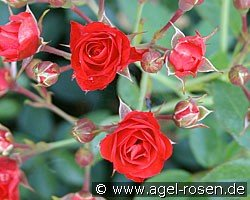 Scarlet Meidiland (Ground Cover Rose)