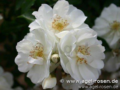 buy rose schneeflocke online at agel rosen tree roses. Black Bedroom Furniture Sets. Home Design Ideas