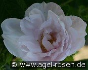 Schneekoppe (Ground Cover Rose)
