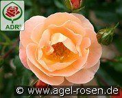 Sedana (Ground Cover Rose)
