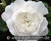 Snow Ballett (Ground Cover Rose)