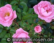 Sommerwind (Ground Cover Rose)