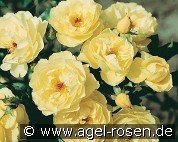 Sonnenschirm (Ground Cover Rose)