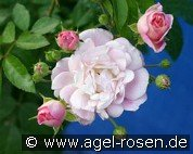 Souvenir de Greuville (Ground Cover Rose)