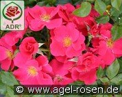 Stadt Rom (Ground Cover Rose)