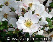 Sternenflor (Ground Cover Rose)