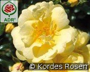 Sunny Rose (Ground Cover Rose)