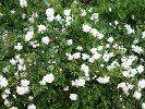 Swany (Ground Cover Rose)