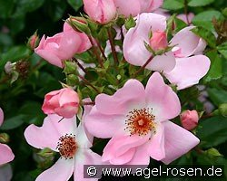 sweet haze ground cover rose buy at agel rosen. Black Bedroom Furniture Sets. Home Design Ideas