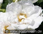 White Roadrunner (Ground Cover Rose)