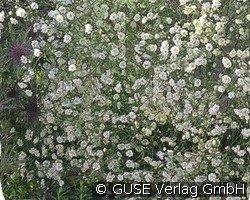 schleierkraut bei agel rosen online kaufen gypsophila. Black Bedroom Furniture Sets. Home Design Ideas