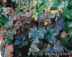 Purpurglöckchen (Heuchera micrantha 'Palace Purple')