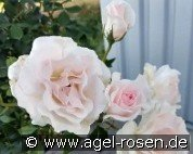 A Whiter Shade of Pale (Hybrid Tea)
