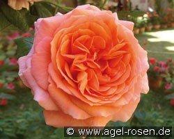 amour de molene hybrid tea buy at agel rosen. Black Bedroom Furniture Sets. Home Design Ideas