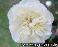 Andreas Khol Rose (Hybrid Tea)