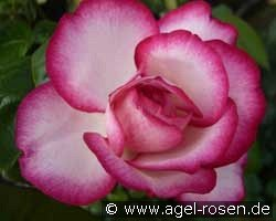 Atlas (Hybrid Tea)
