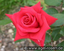 Bad Nauheim (Hybrid Tea)